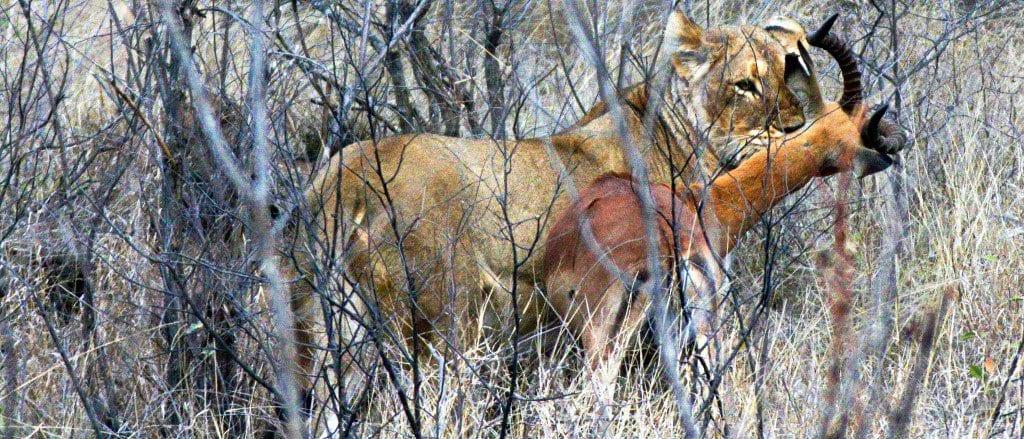 Lion kill in Kruger Park