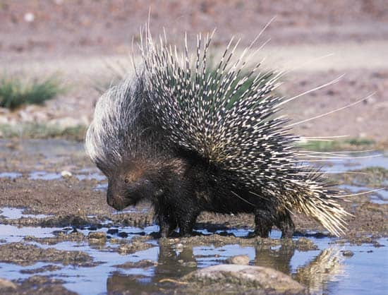 Porcupine in Kruger National Park