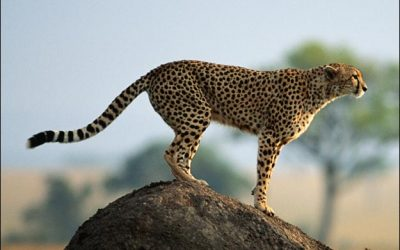 Cheetah hunting from a view point in Kruger Park