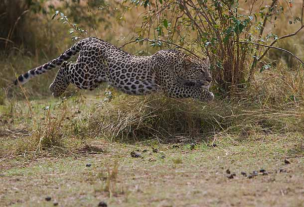 Leopard leaping after a Hare in Kruger Park