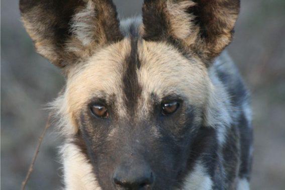 Wild dog on a Kruger safari