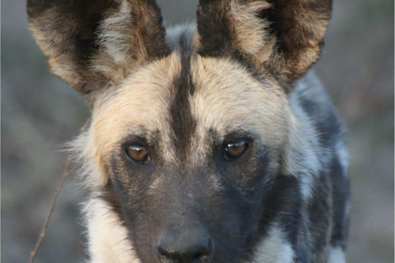 Wild Dog On A Kruger Safari