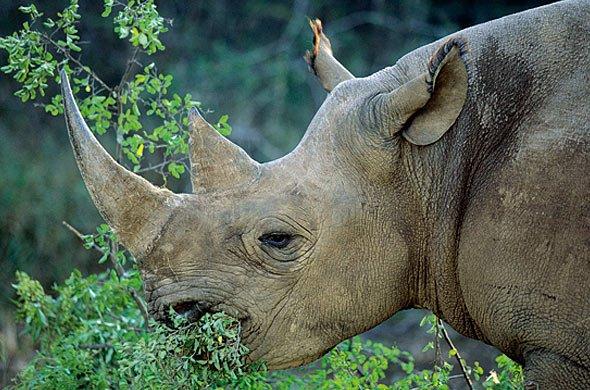 Black rhino | Nigel Dennis