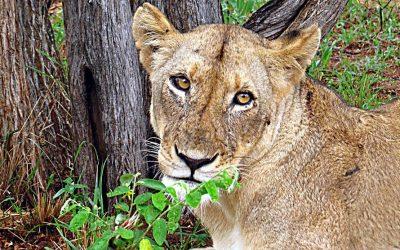 Female lioness on a Kruger luxury safari