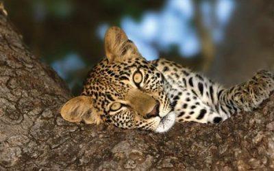 Young leopard in Hoedspruit