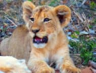 Lion cub in Klaserie Game Reserve