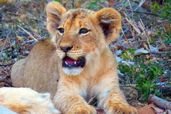 Lion cub in Klaserie Game Reserve