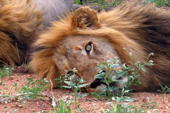 Male lions in Klaserie Game Reserve