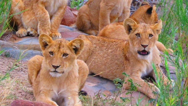 Hungry lion cubs | Klaserie Game Reserve