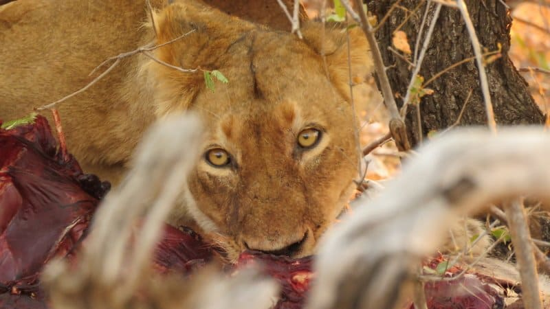 Female lion on a waterbuck in Kruger National Park