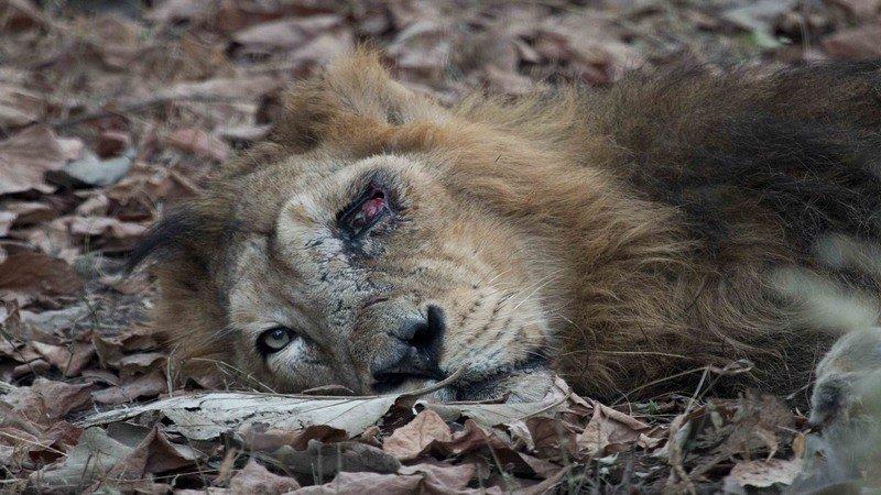 Sick lion in Kruger Park