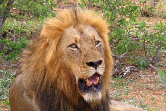 Male lion   Klaserie Game Reserve