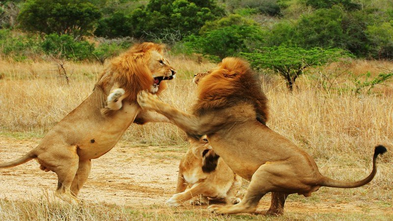 Lions fighting | Kruger Park