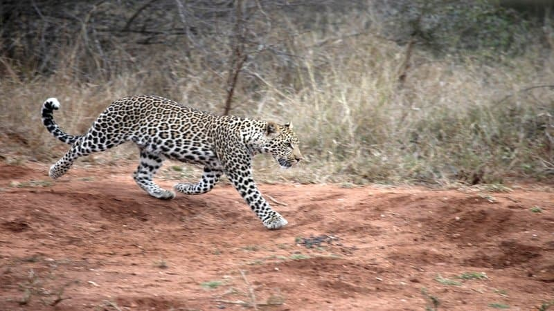 Leopard on the run in Greater Kruger Park