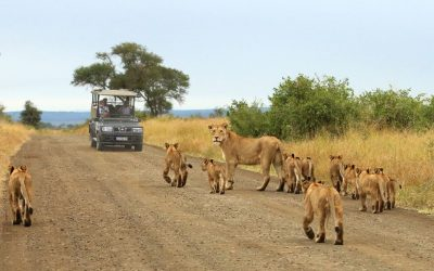 Lion sighting in Kruger National Park