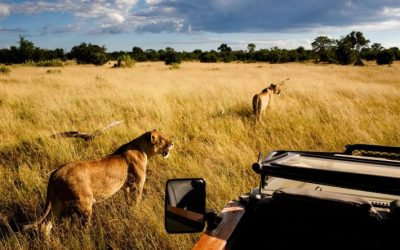 Lions hunting on safari in The Okavango Delta