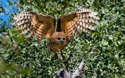 Pek's Fishing Owl at Xigera Camp Okavango Delta