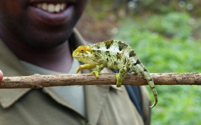 Chameleon in the forest in Rwanda