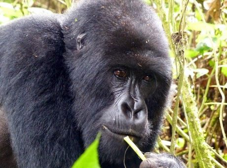 Gorilla trekking on a Rwanda safari