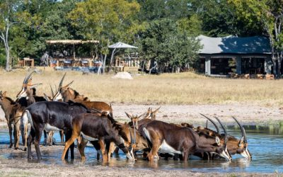 Sable Antelope drinking outside Little Makalolo camp