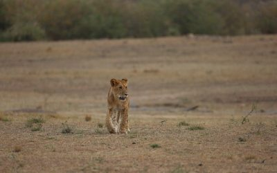 Lion in Akagera National Park
