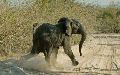 Elephant on a Chobe safari