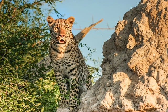 Leopard Hunting From A Termite Mound