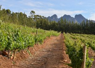 Vineyard close to Cape Town