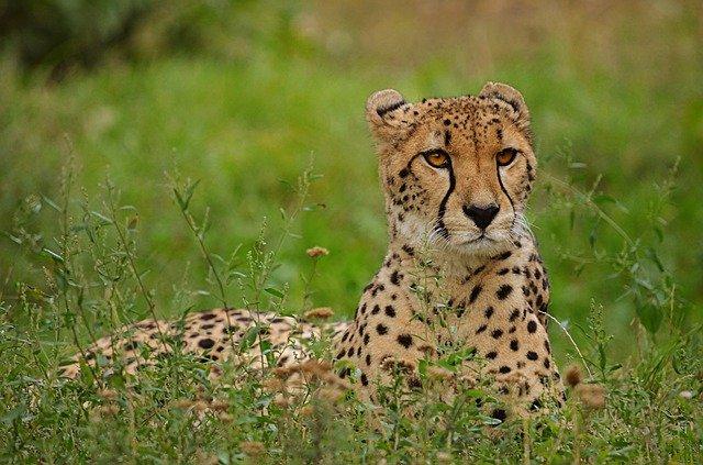Swift Cheetah Facts