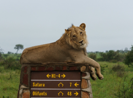 Young male lion chilling on a road sign in Kruger Park