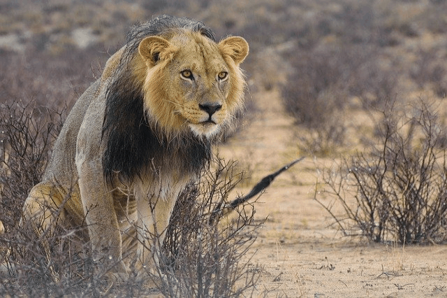 Lion Sighting Central Kalahari
