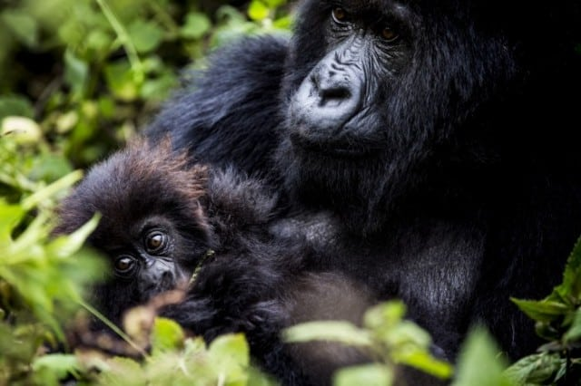 Mother And Baby Goriila On A Rwanda Safari