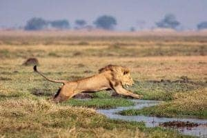 Lion jumping over water in Busanga Plains on a safari in Zambia