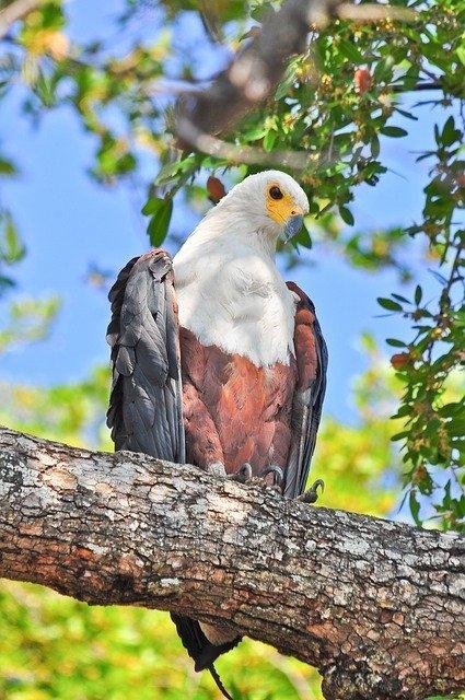 Fish Eagle Resting In A Tree In The Okavango Delta