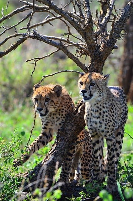 A Cheetah Family On A Private Kruger Safari