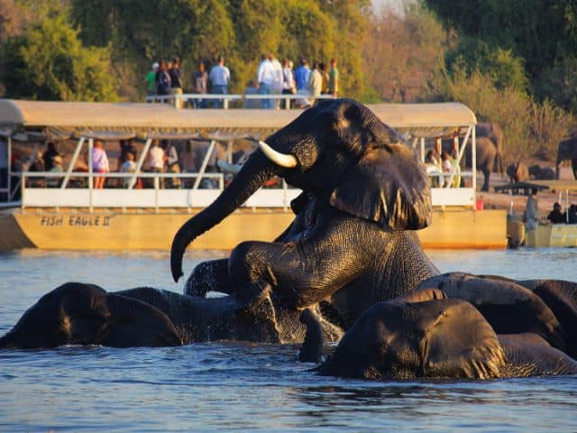Elephants Playing On The Chobe River