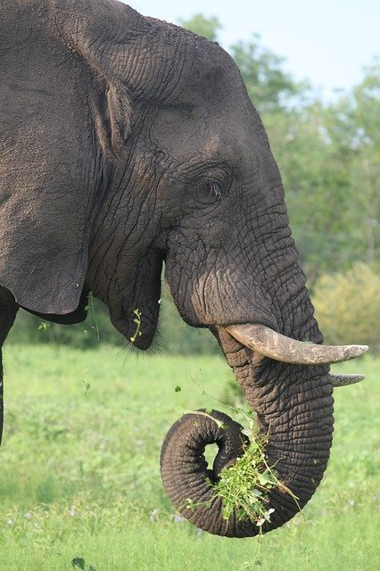 Elephant Eating In The Kruger National Park