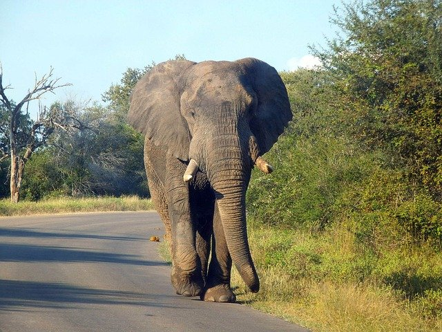 Elephant Bull In Kruger National Park On A Private Kruger Safari