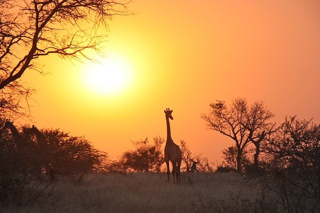 Giraffe Sunset Silhouette In Zambia