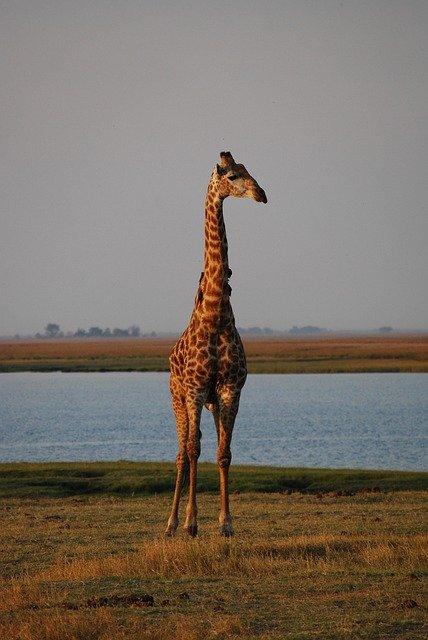 Giraffe At Sunrise In The Chobe National Park