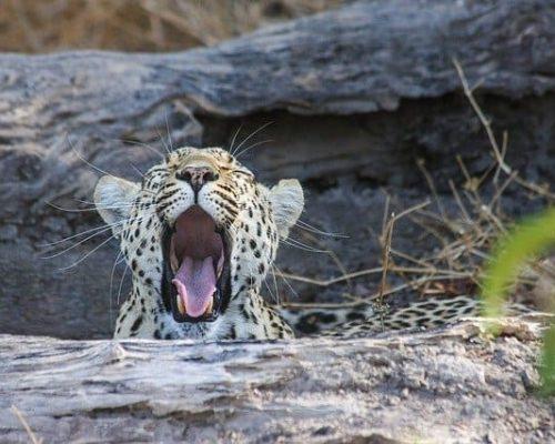 Leopard yawning on an Chobe National Park Safari