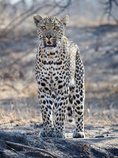 Leopard Hunting On A Private Kruger Safari