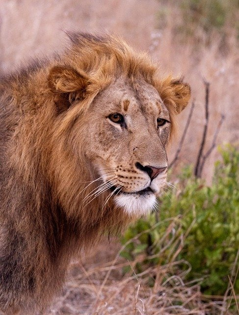 Male Lion Hunting In Kruger National Park