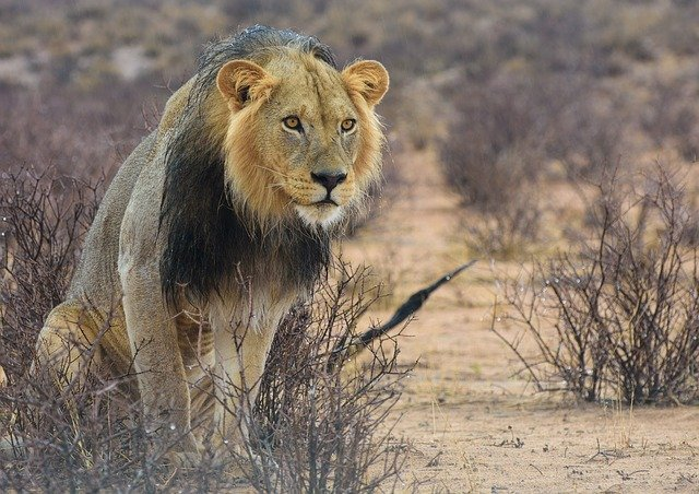 Lion In The First Seasonal Rain In The Kalahari On A Botswana Luxury Safari