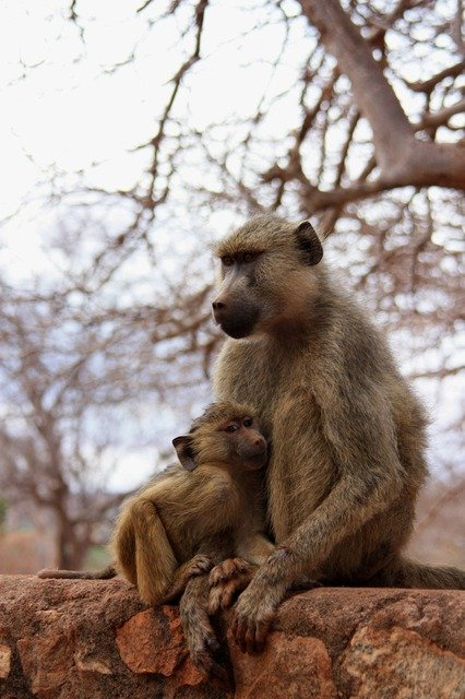 Baboon And Her Youngster In Kruger National Park
