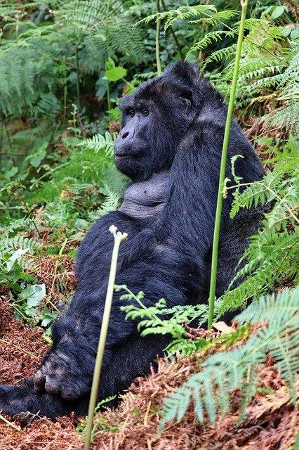 Silverback Gorilla On A Rwanda Safari