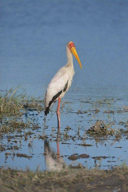 Yellow-billed Stork Hunting In The Okavango Delta