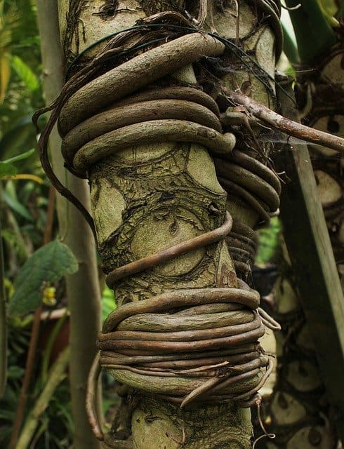 Gorgeous Tree Root In The Volcanoes National Park Forest