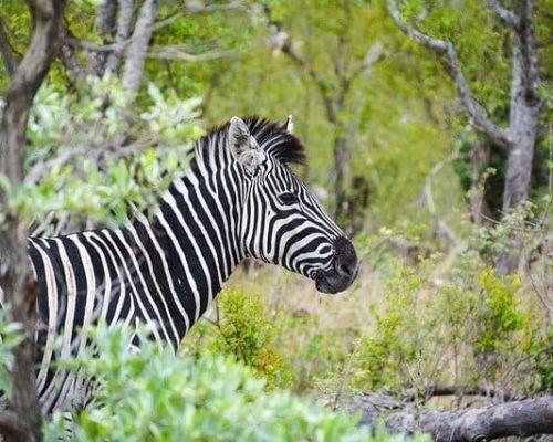 Alert zebra in Kruger National Park