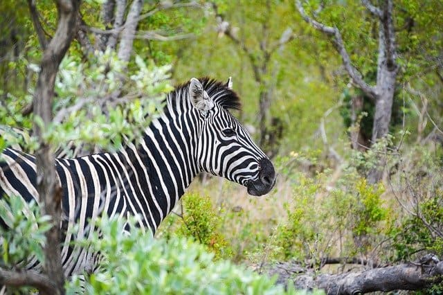 Alert Zebra In Kruger National Park